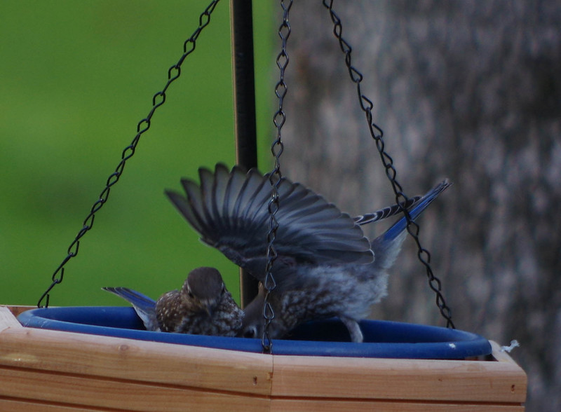 Bluebird Fledglings brood one