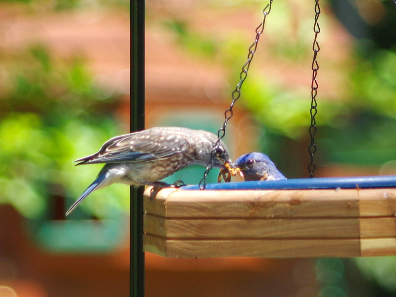 male and fledgling feeding brood one