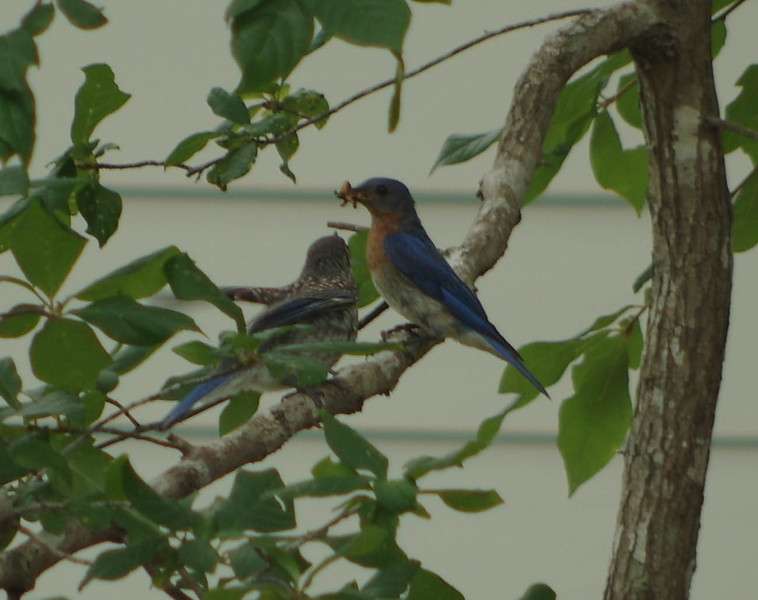 Male and fledgling brood two