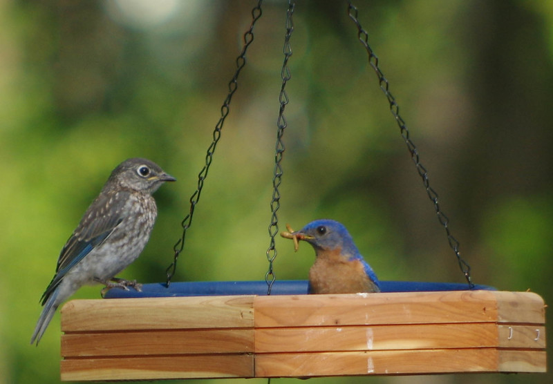 Daddy bluebird feeding Fledgling brood one