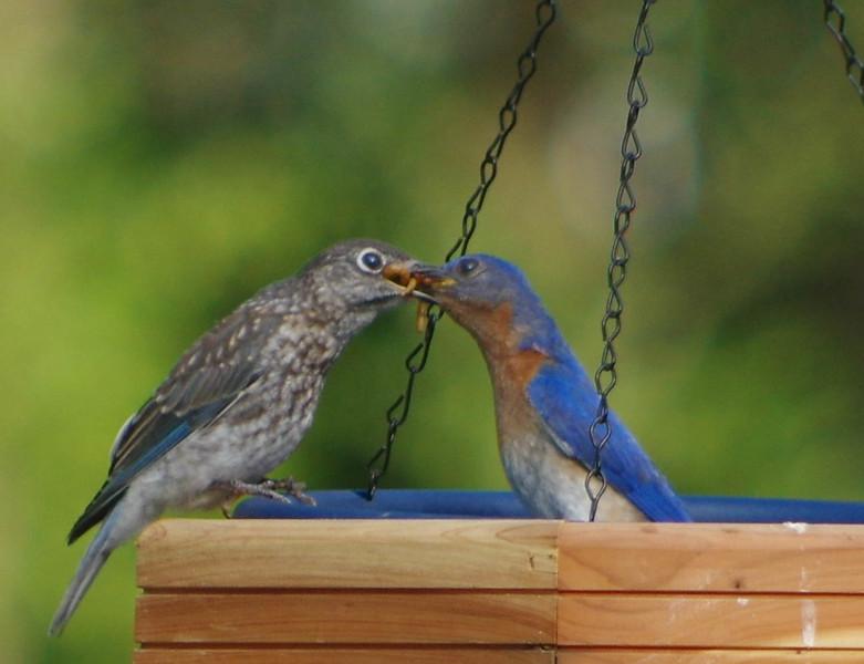 Daddy bluebird feeding Fledgling brood one