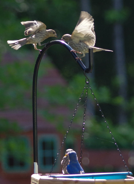 male and all three fledglings