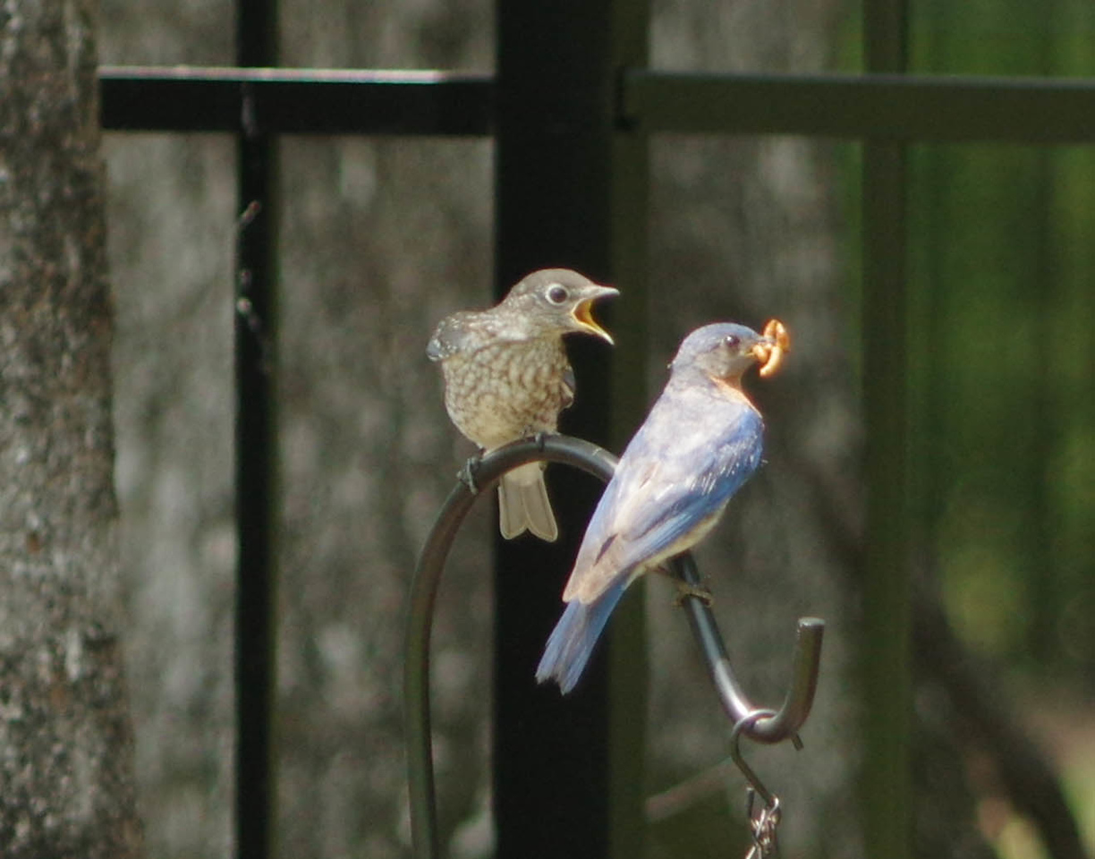 Male and fledgling feeding  brood two