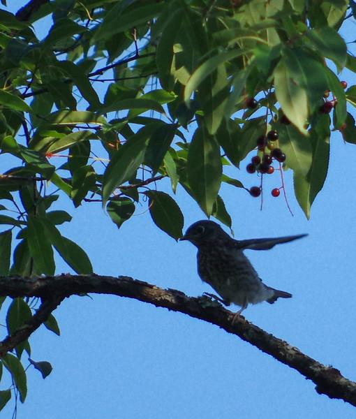 Bluebird Fledglings