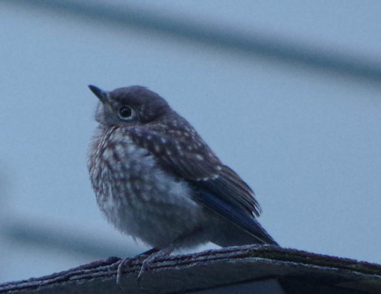 Bluebird fledgling brood one