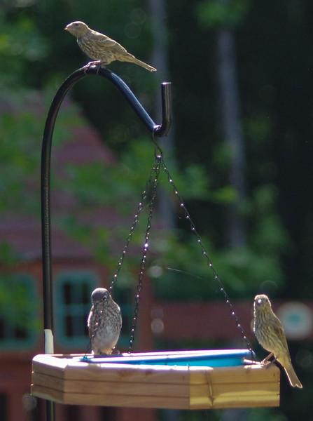 Bluebird Fledgllings