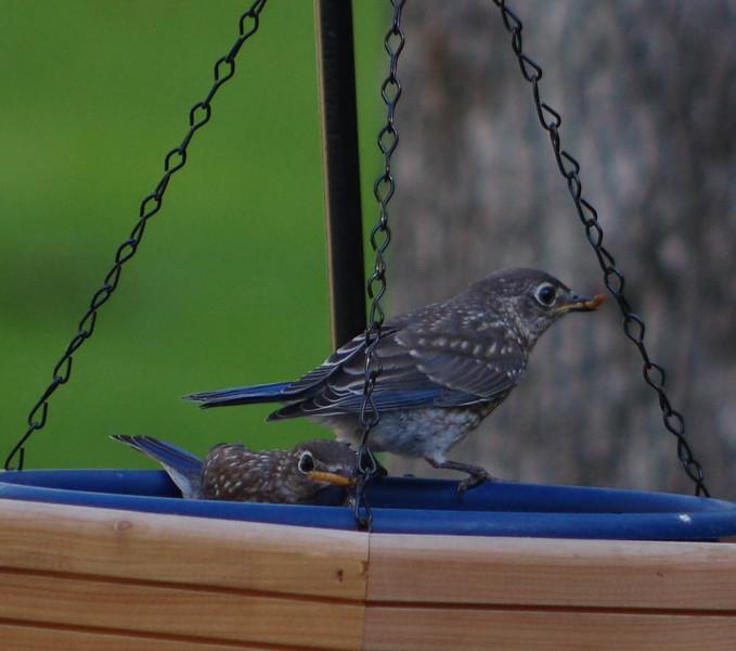 Bluebird Fledglings brood one