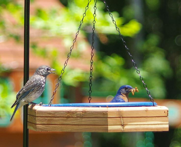 male and fledgling feeding brood one