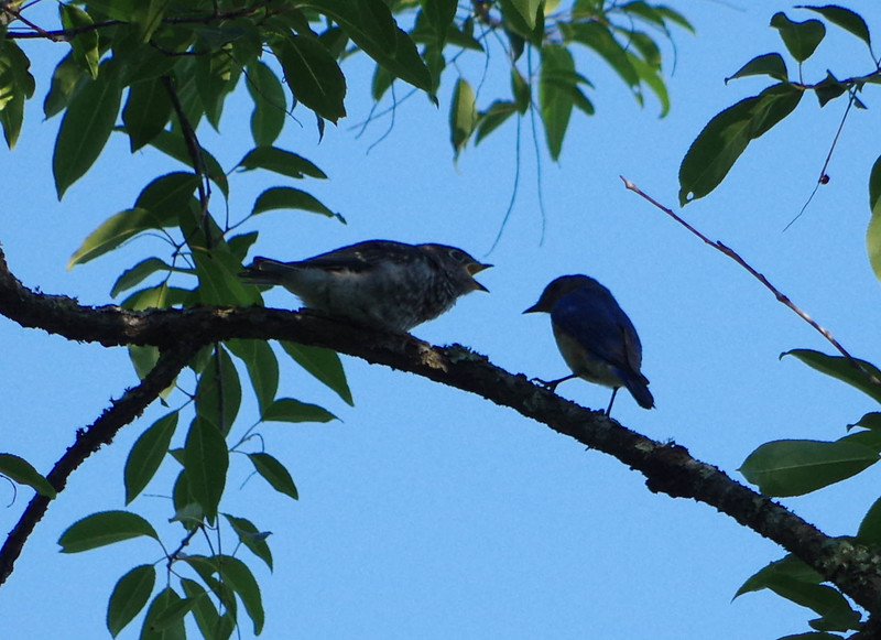 Male with Fledgling Brood one