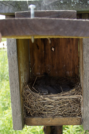 Bluebird Monitoring June