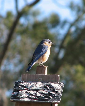 Bluebirds 021910