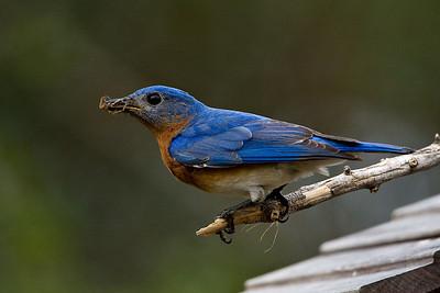 Bluebirds-7517