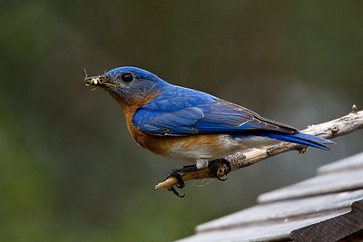 Bluebirds-7510