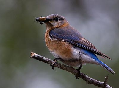 Bluebirds-7559
