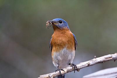 Bluebirds-7491