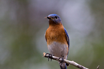 Bluebirds-7502