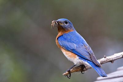 Bluebirds-7494