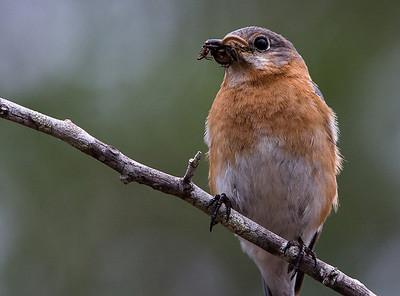 Bluebirds-7543