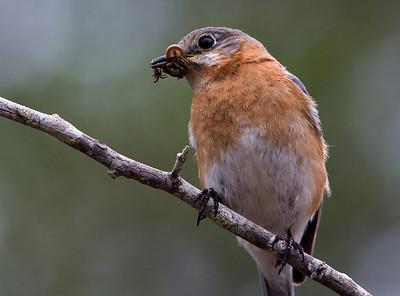 Bluebirds-7541