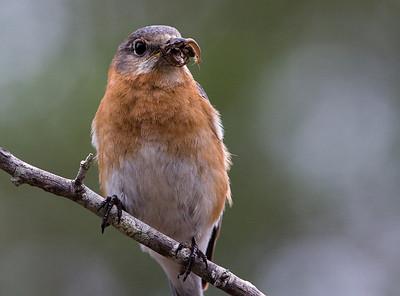 Bluebirds-7545