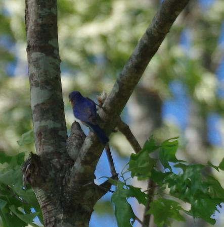 Bluebirds 2017