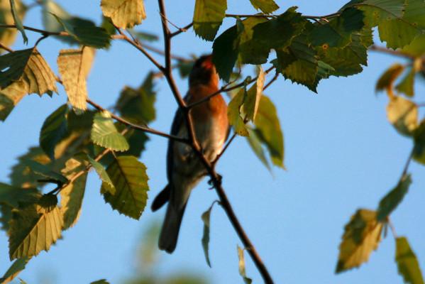 Bluebirds - Nesting Three this Year