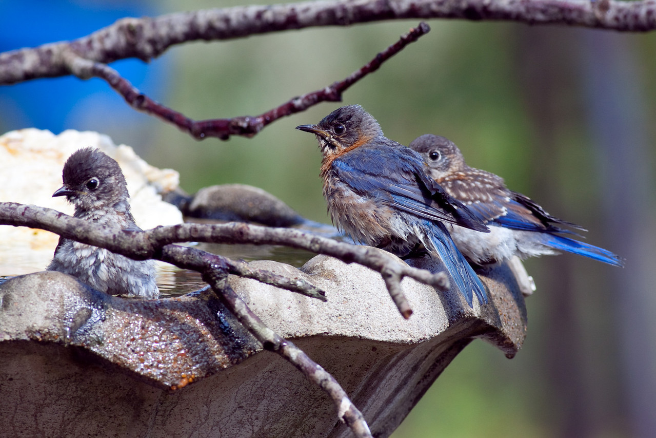 Bluebird family goes for a bath