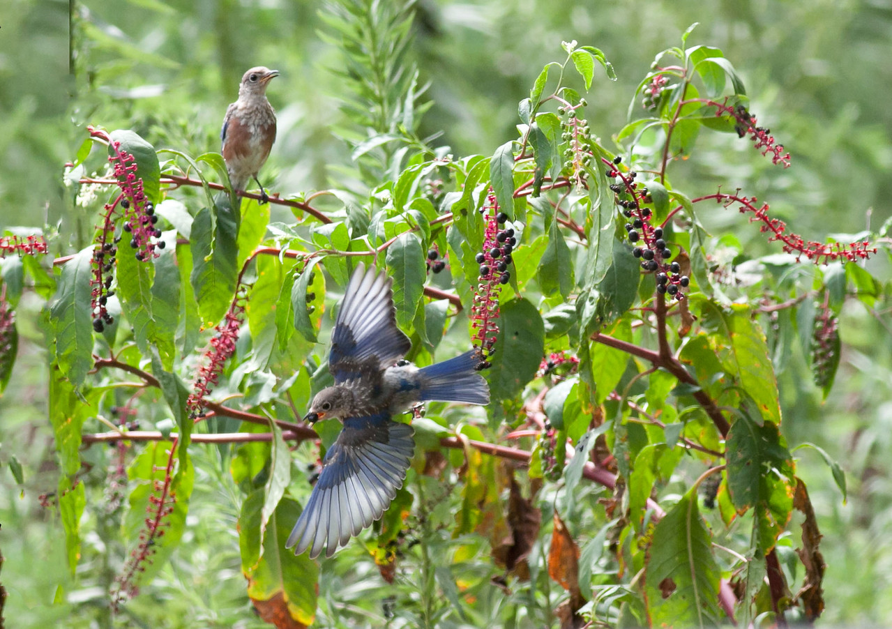 Eastern Bluebird Juveniles eating Poke Salat Berries