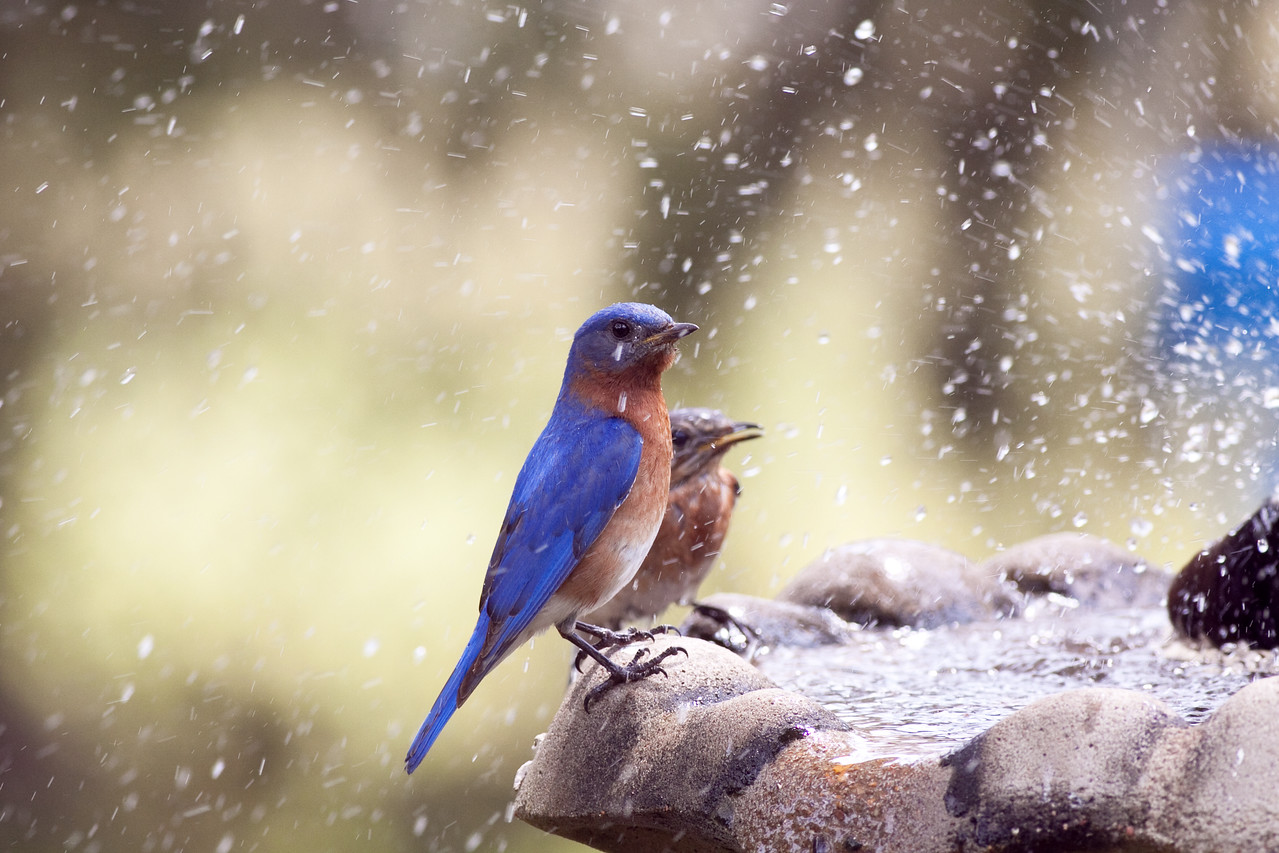 Eastern Bluebirds take a shower thanks to a Brown Headed Cowbird