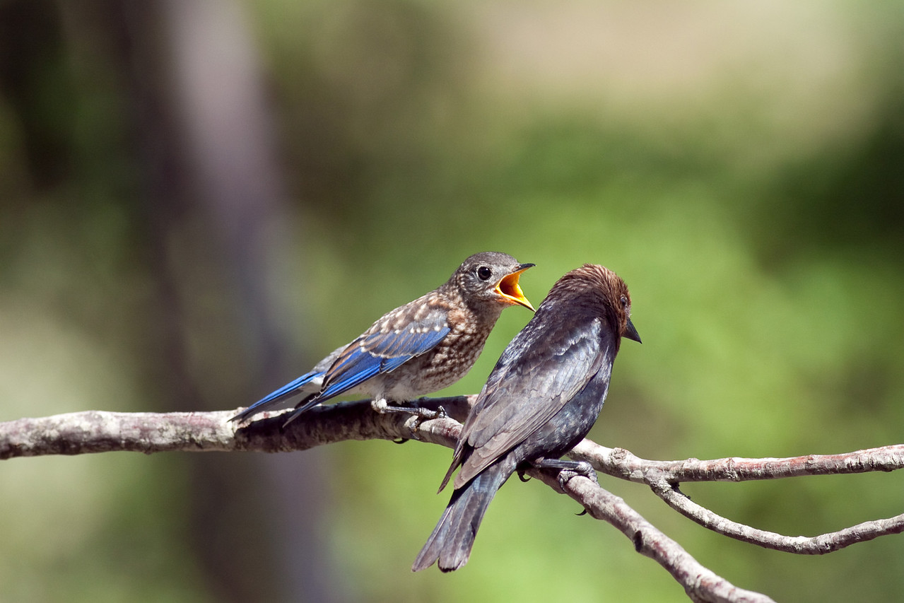 Fledgling Eastern Bluebird & Brown Headed Cowbird