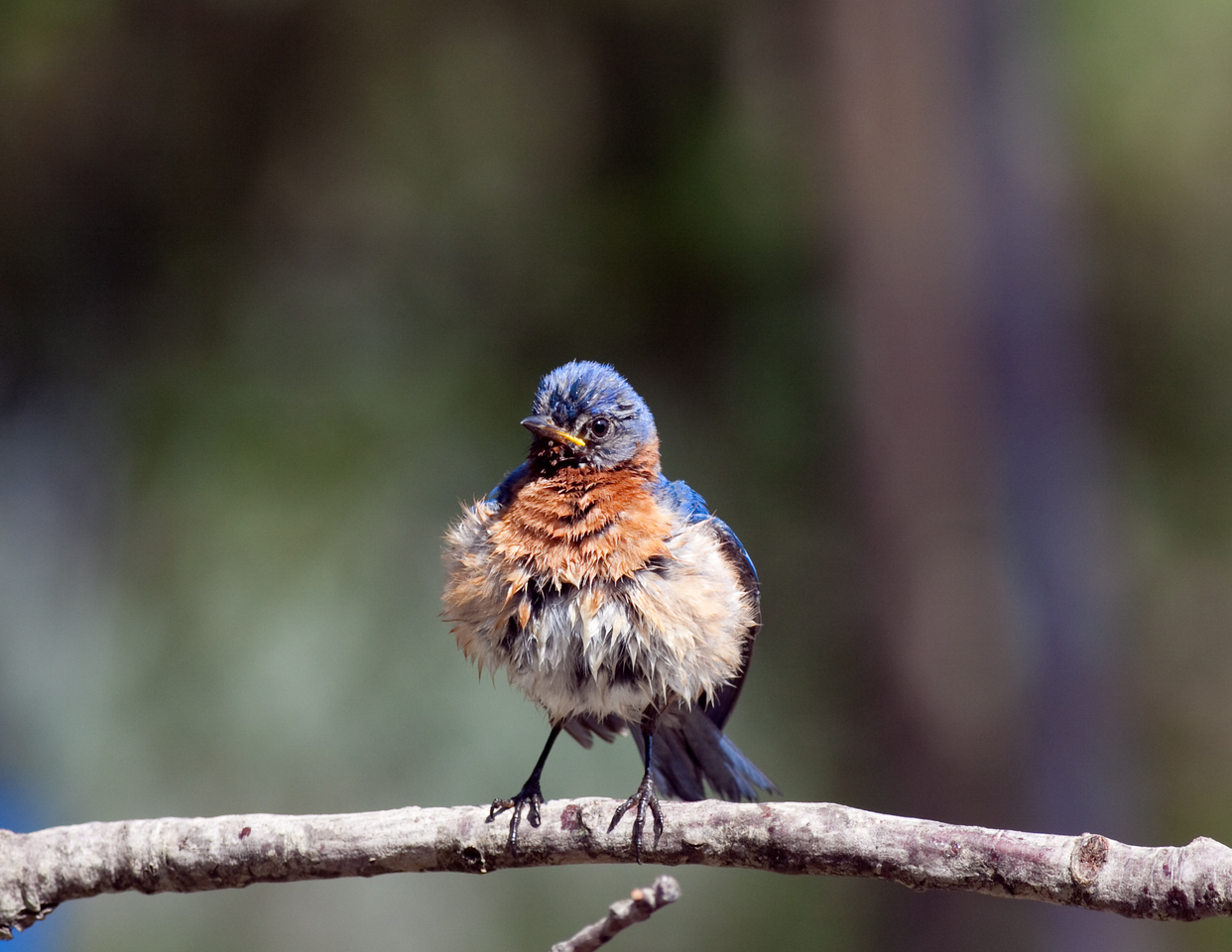 An Eastern Bluebird fluffs up to dry after a bath