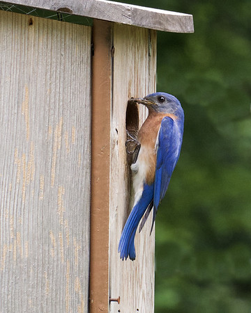 Bluebirds move in
