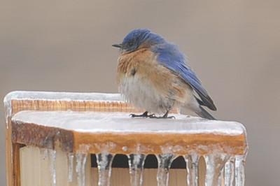 2015 Bluebirds in ice 1
