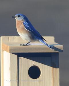 Bluebirds 20150227 9