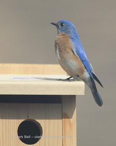 Bluebirds 20150227 1