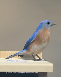 Bluebirds 20150227 6