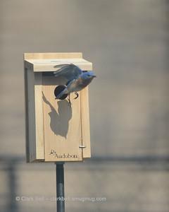 Bluebirds 20150227 5