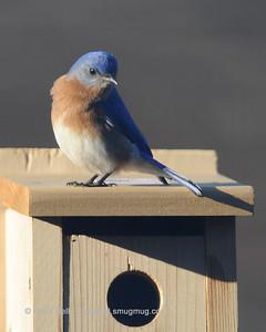 Bluebirds 20150227 10