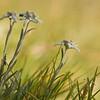 Alpen-Edelweiß (Leontopodium nivale)