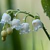 Maiglöckchen mit Regentropfen