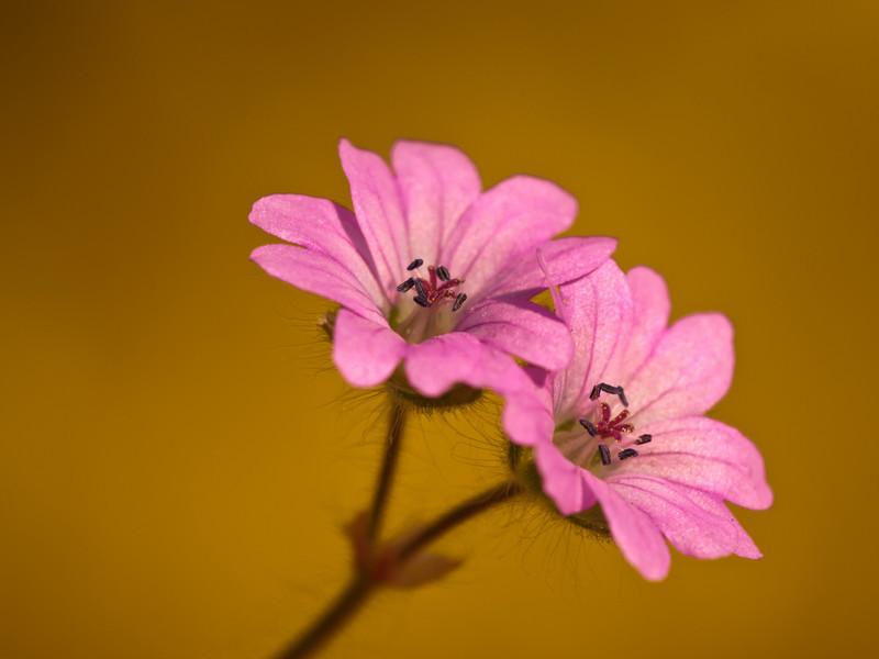 Storchelschnabelblume