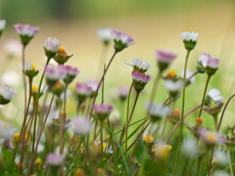 Gänseblumenwiese