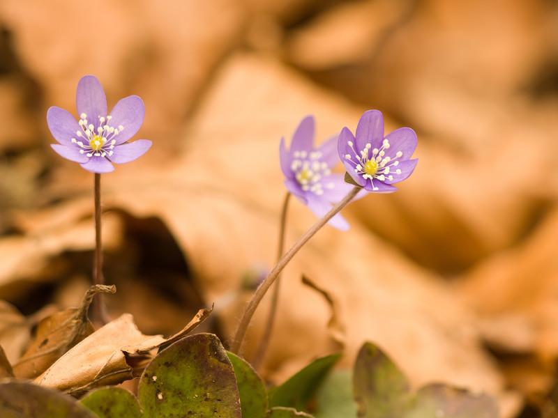 Leberblümchen am Waldboden