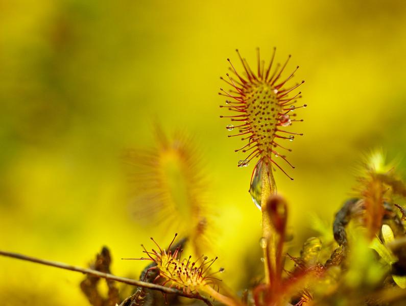 Rundblättrige Sonnentau (Drosera rotundifolia)