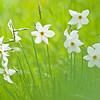 Narzissen (Narcissus)