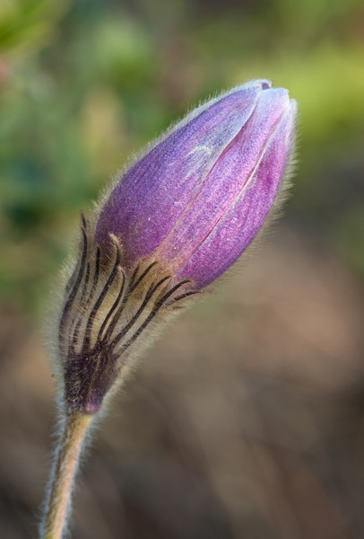 Pelzanemone (Pulsatilla vernalis)