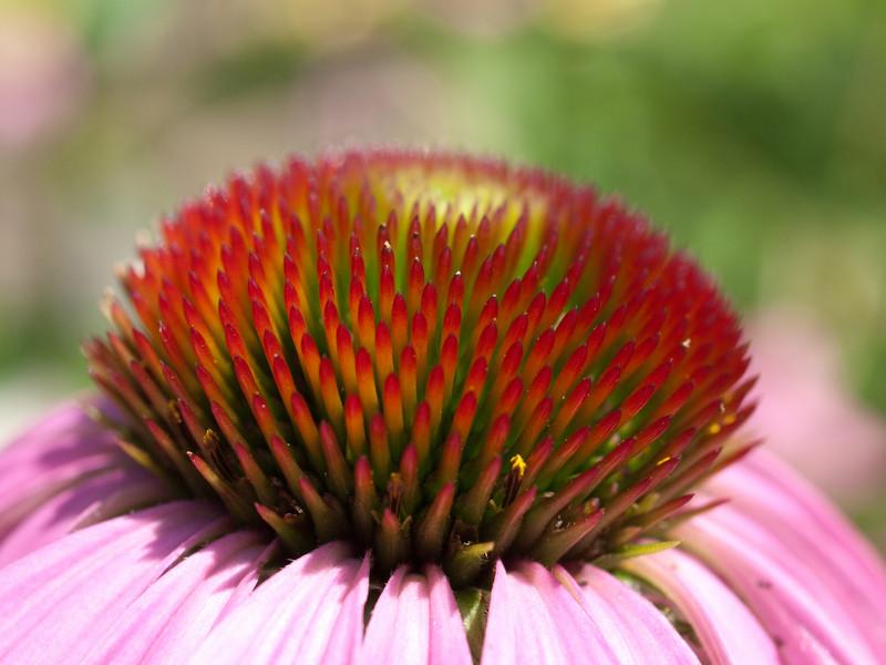 roter Sonnenhut (Echinacea purpurea L.)