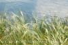 Blurry Grasses (24)