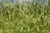 Blurry Grasses (19)