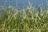 Blurry Grasses (16)